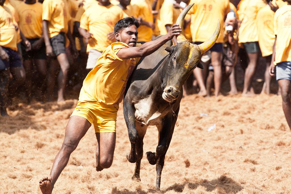 India Supreme Court bans bull fighting festival