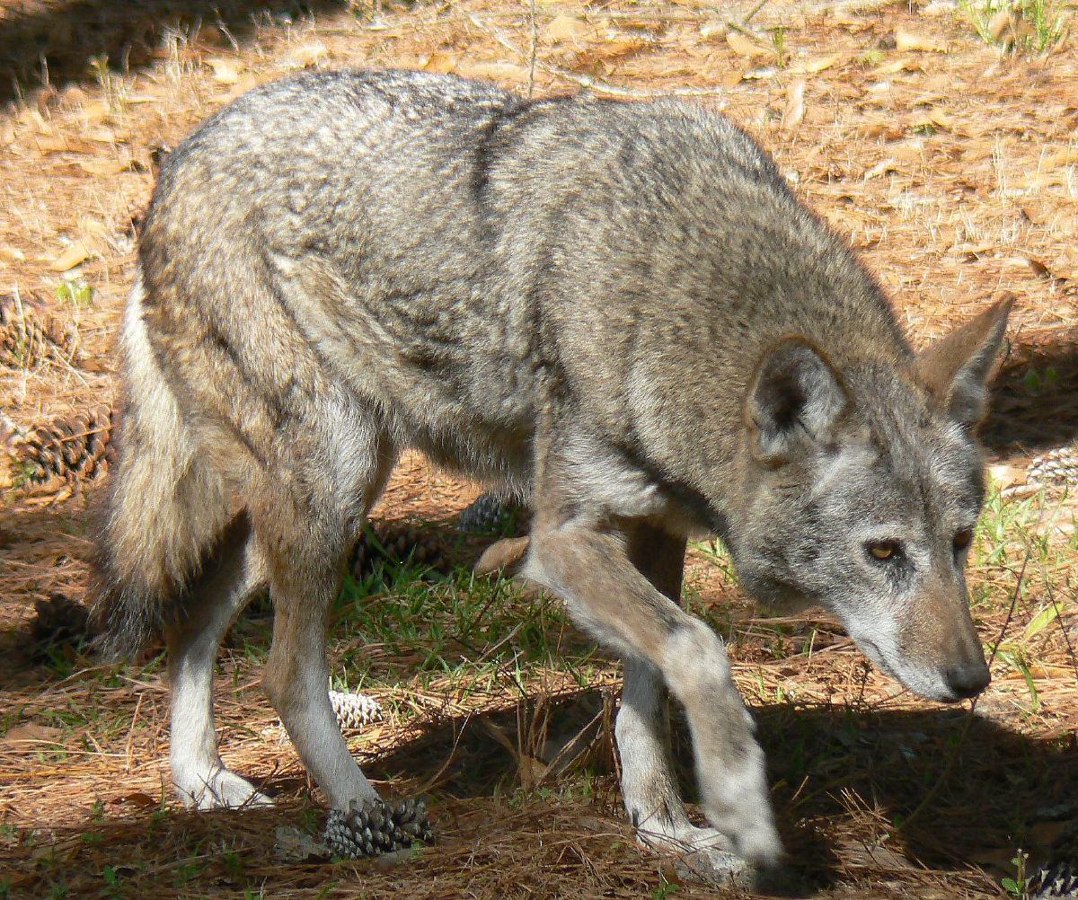 Sweden court halts controversial wolf hunt