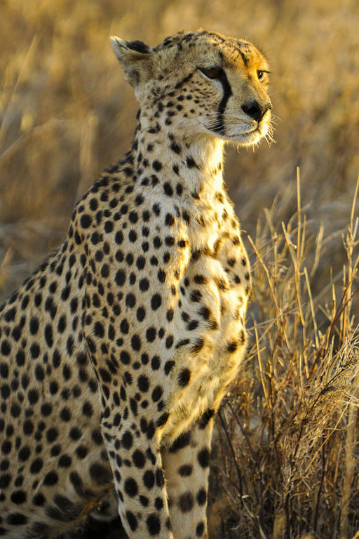 Study: cheetah populations and habitats are shrinking