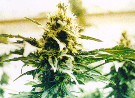 Dutch lower house approves bill allowing cultivation of cannabis