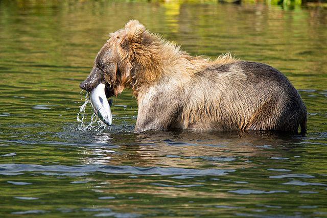 US Senate votes to repeal Alaska wildlife protections
