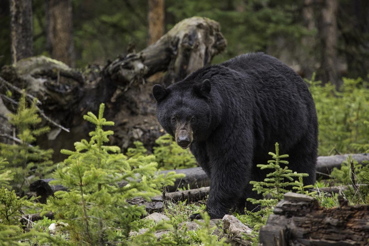 Wildlife protection groups file federal suit over endangered black bear
