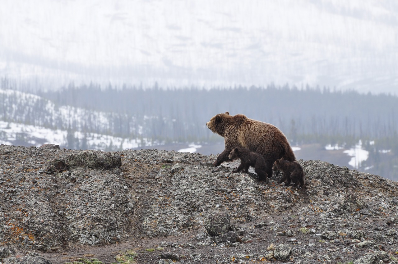 Federal judge blocks first northwest grizzly hunt in 44 years