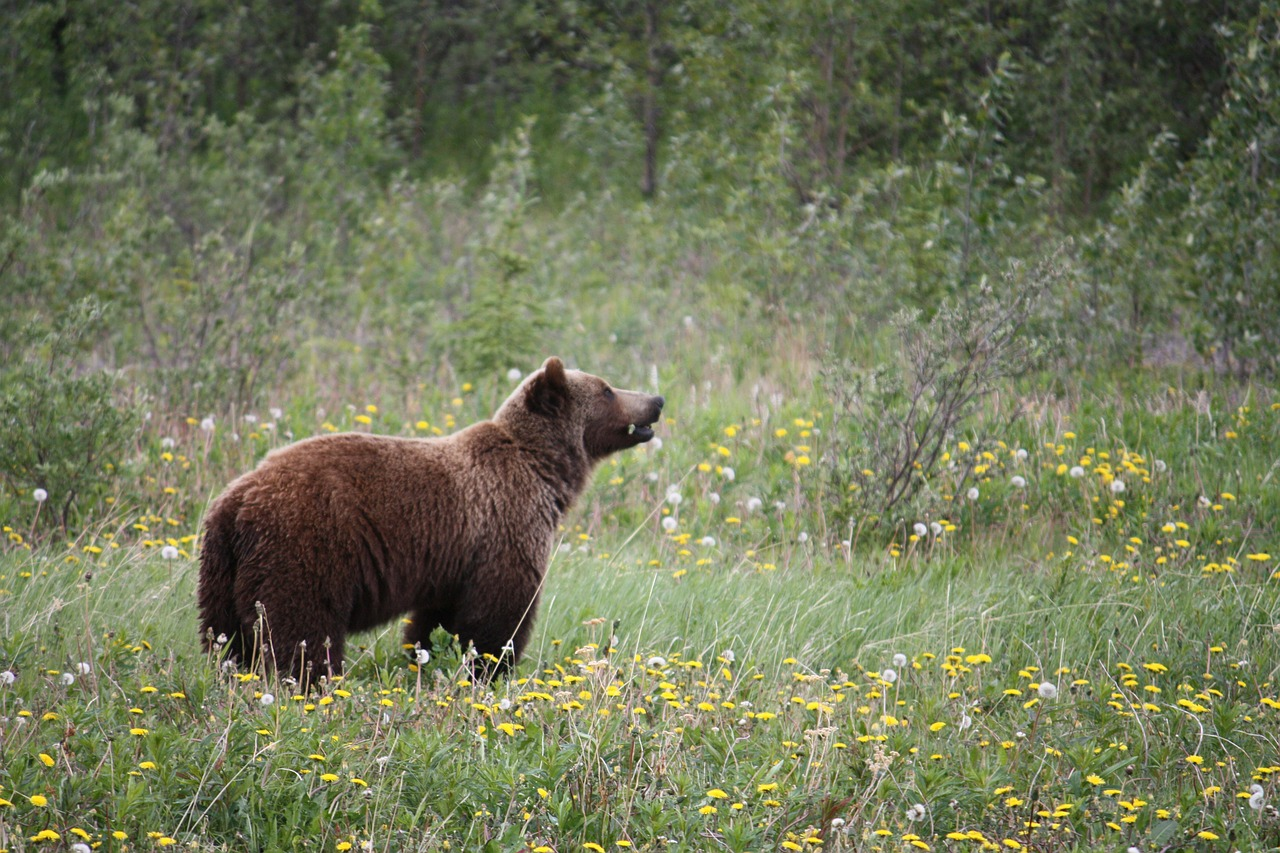 Federal judge rules Yellowstone grizzlies should remain protected