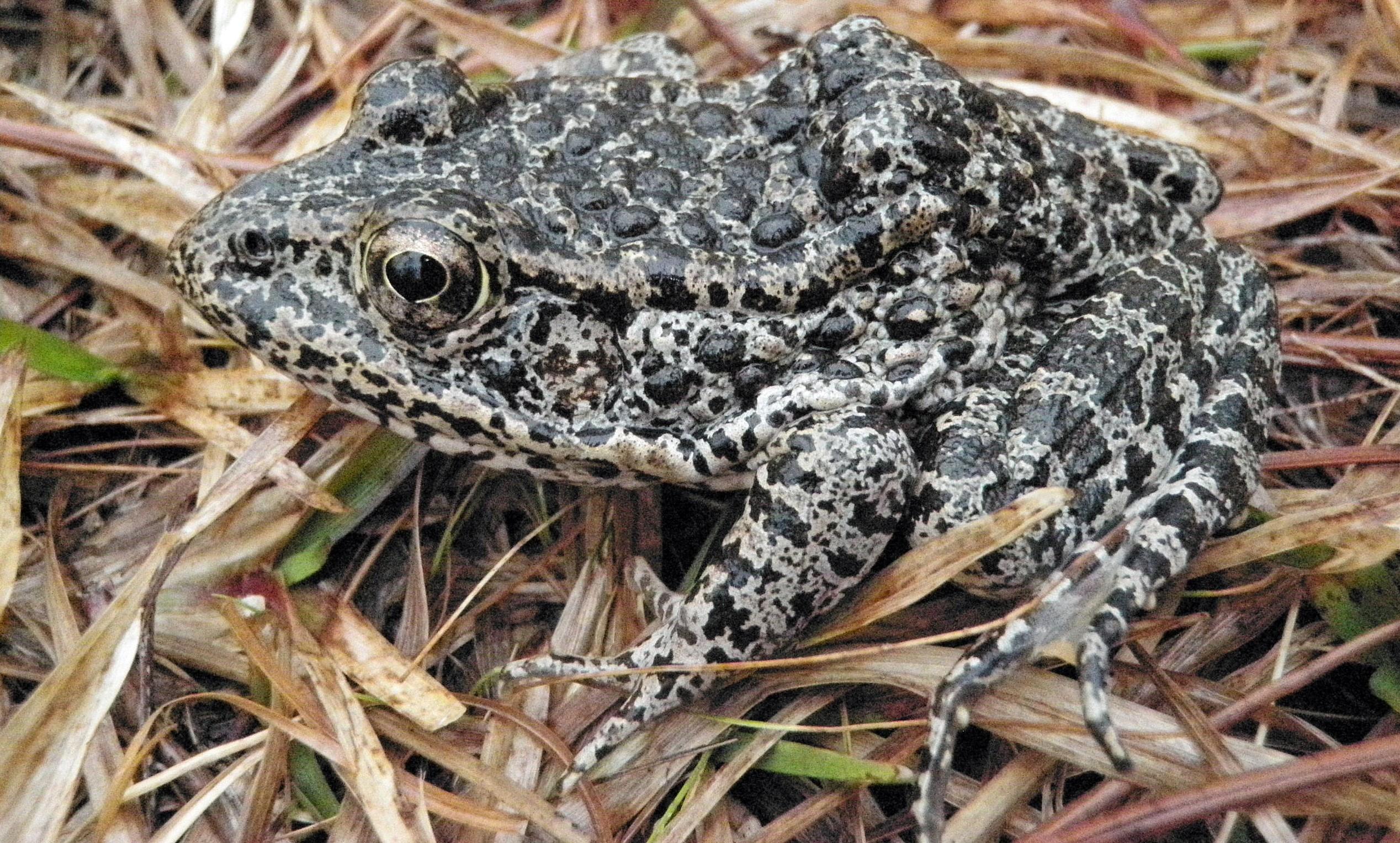 Supreme Court sends endangered frog case back to lower court