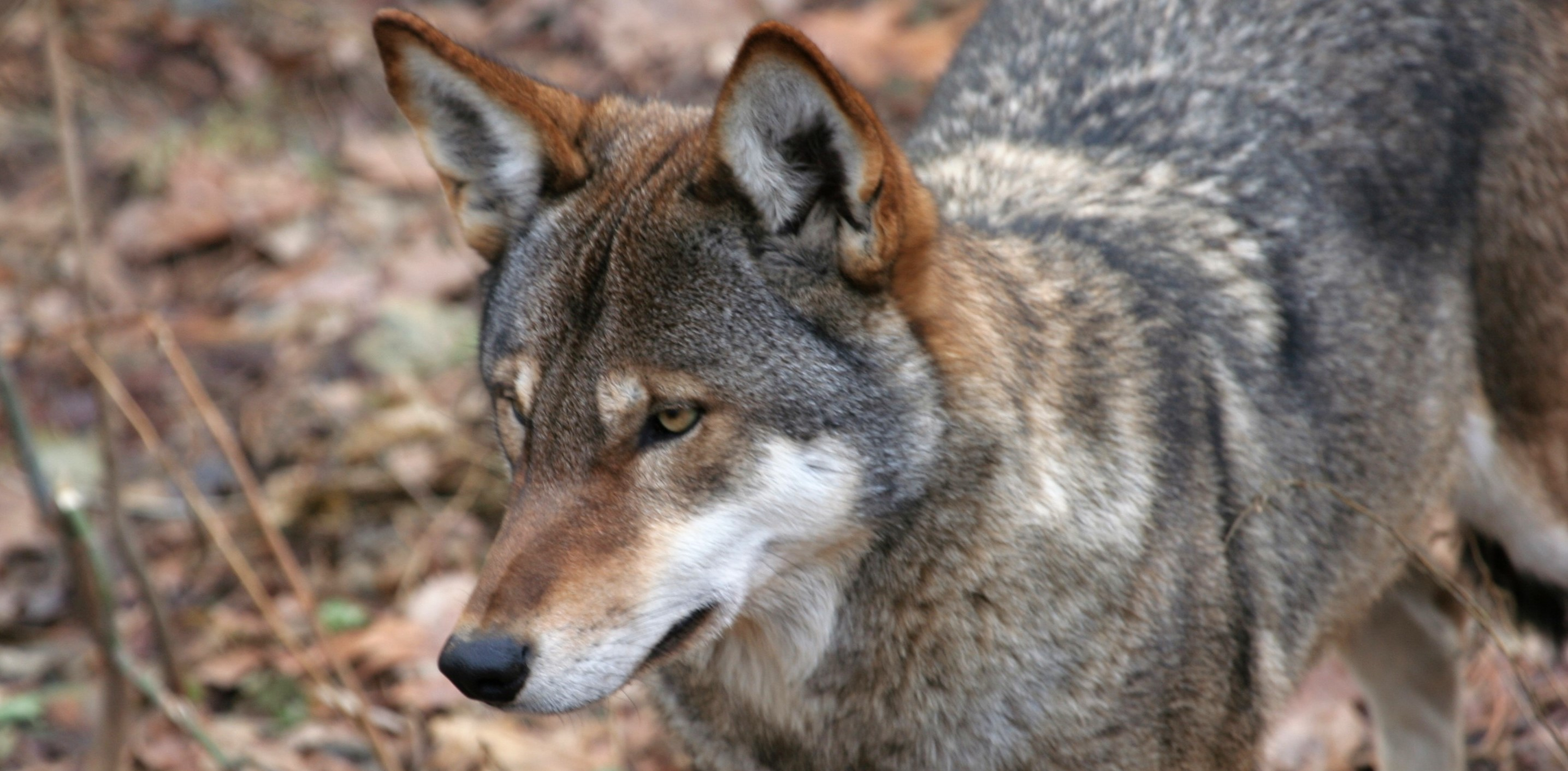 American red wolf protected in ruling against US Fish and Wildlife Service