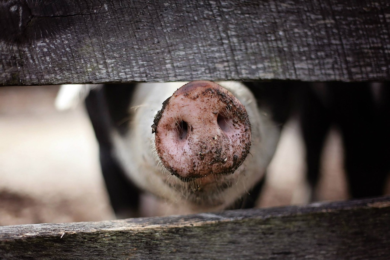 Animal rights groups file federal lawsuit over Iowa ag-gag law