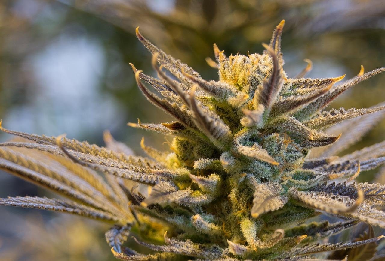 Florida appeals court rules marijuana regulation unconstitutional