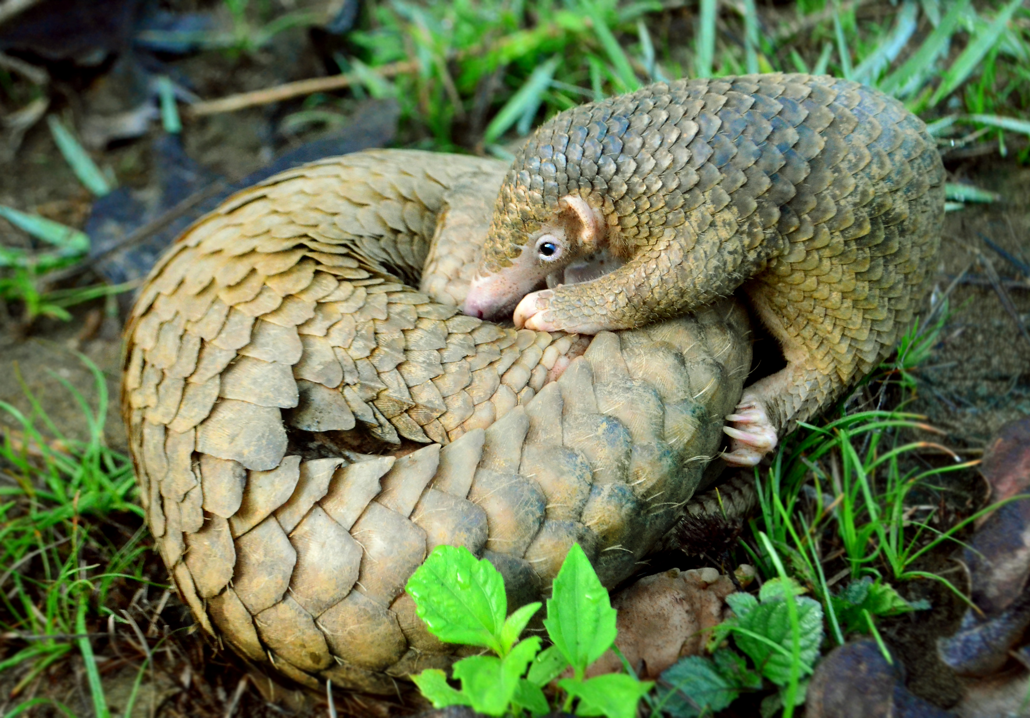 NRDC sues to extend endangered species protection to pangolin