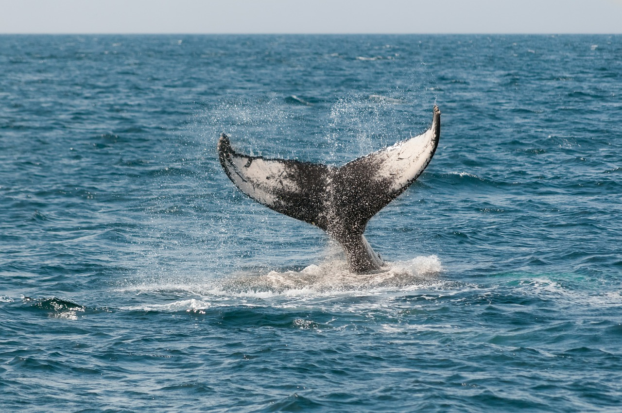 Boat restrictions implemented near Boston to protect whales