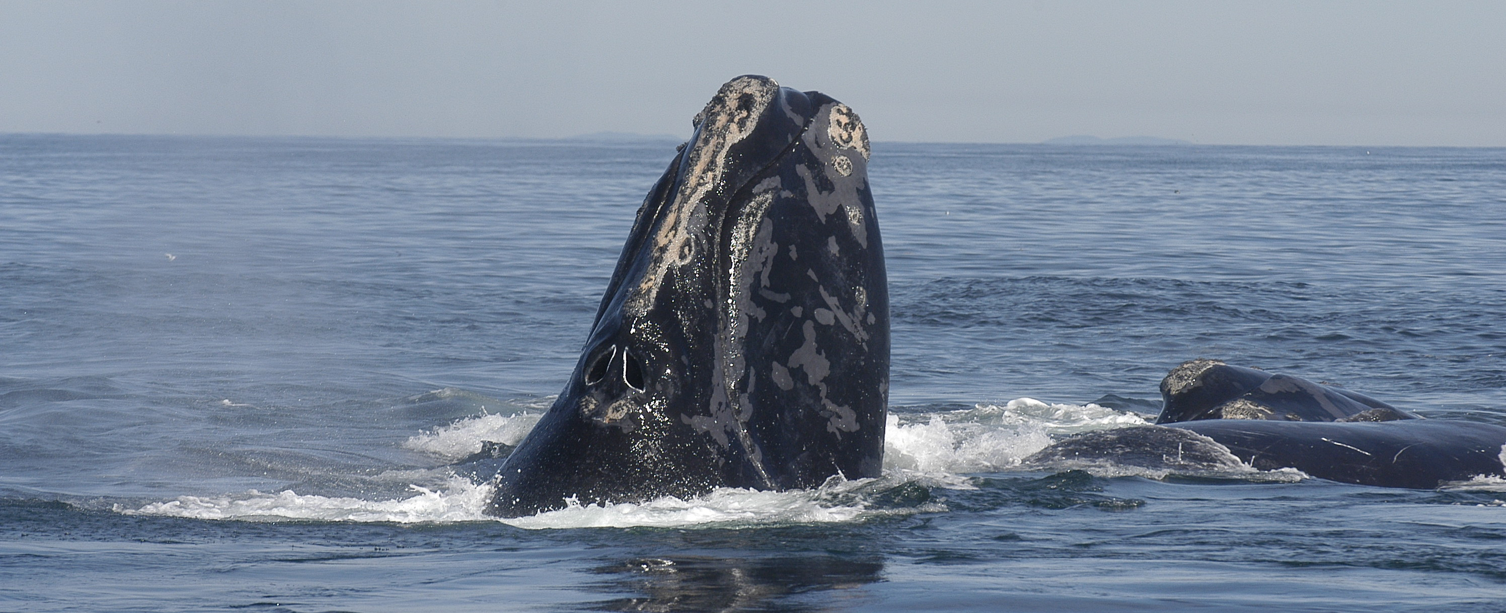Federal judge rules government failed to protect endangered whales in favor of lobster fishing industry