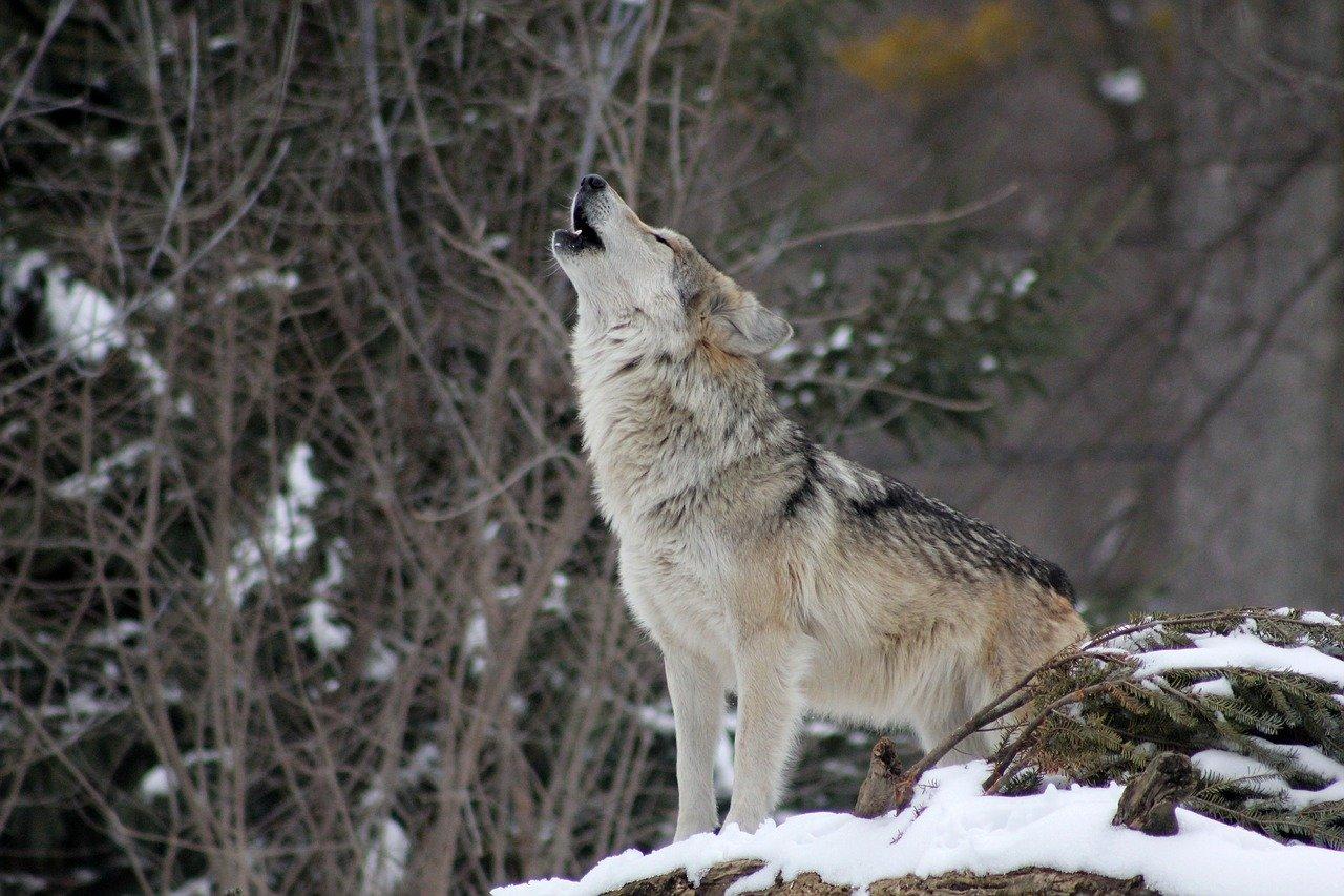 Colorado votes to reintroduce gray wolves