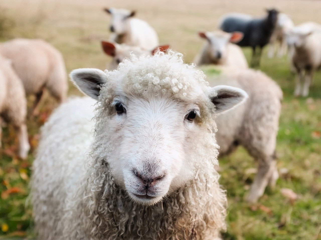 ECJ upholds Belgium law limiting ritual slaughters