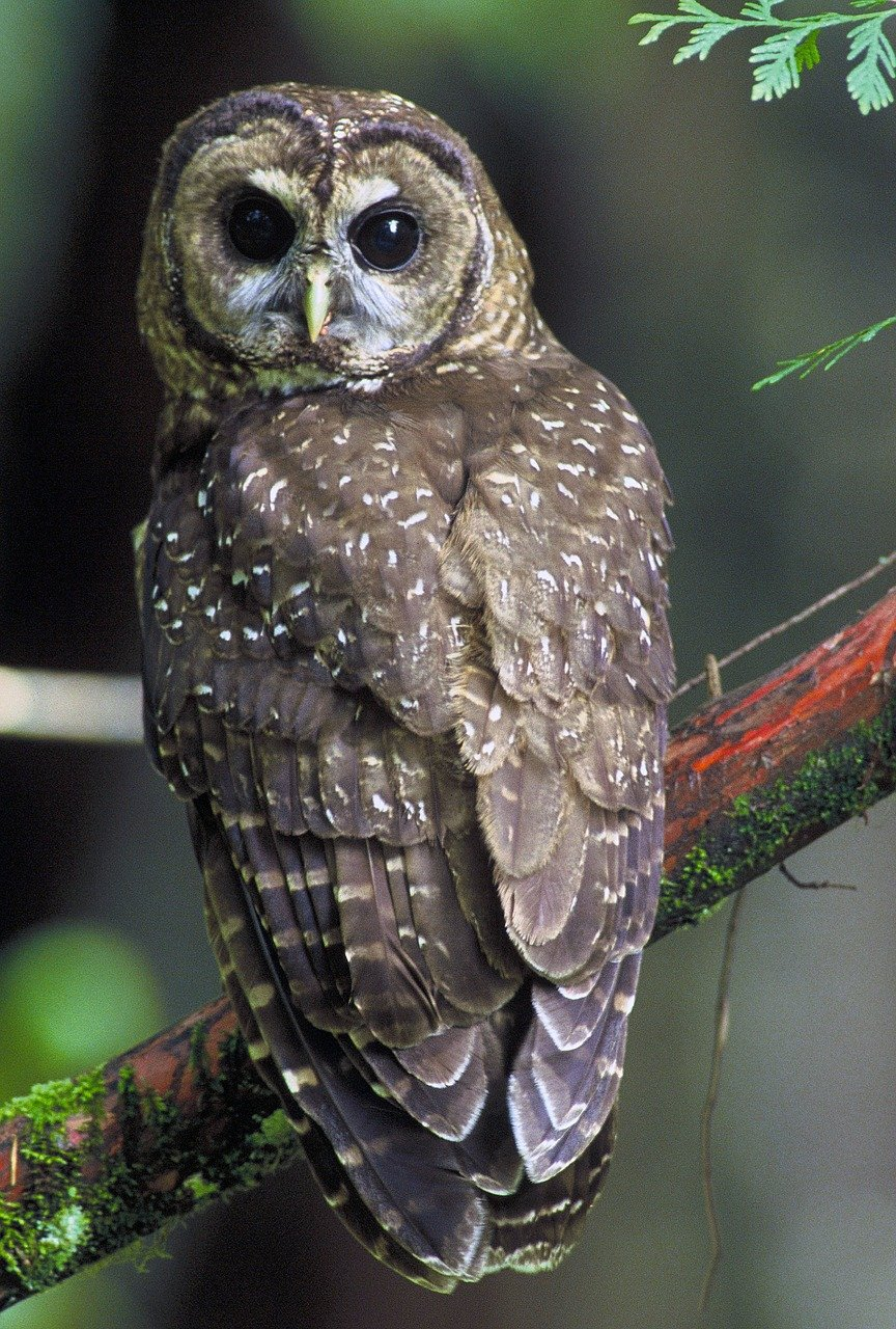 Trump administration reduces critical habitat for northern spotted owl